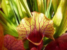 ათი  გასაოცარი მტაცებელი მცენარე