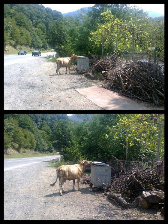 ძროხა შეჭამს ნაგავს, ძროხას შევჭამთ ჩვენ, - ჩვენ ძროხას და ძროხა ნაგავს... თხამ ვენახი შეჭამაა
