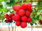 ყველაზე  ძვირი ყურძენი მსოფლიოში, რომლის ერთი მტევანი  4000  დოლარი  ღირს