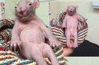 ავსტრალიაში ასეთი უცნაური ცხოველი იპოვეს