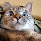 გაოცებული კატა