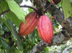 კაკაოს ხე
