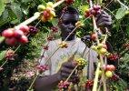ყავის ხე, ეთიოპია