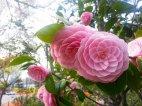 პერფექციონისტის საყვარელი  ყვავილი