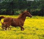 ულამაზესი ცხენი თავის ნაშიერთან ერთად