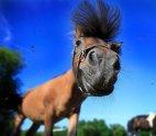 ქოჩორა ცხენი