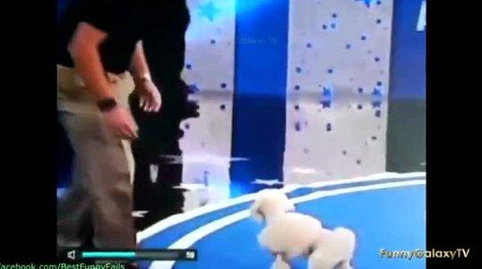 ძაღლი ყირამალა ხტუნაობს