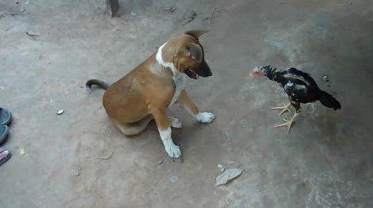 ძაღლი და ქათამი თამაშობენ
