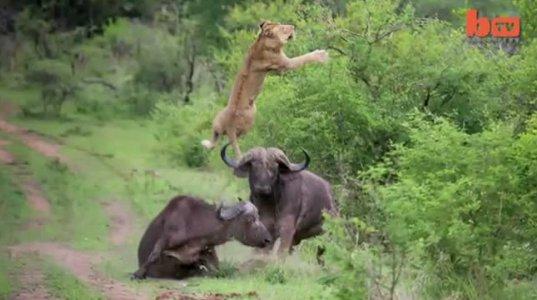 ხარისა და ლომის შერკინება