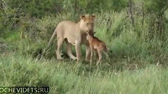 ბუნების საოცრება, ლომმა ანტილობას შვილი მომხვდურისაგან დაიცვა.