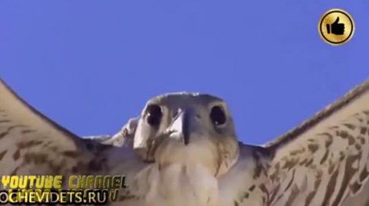 ყველაზე სწრაფი ფრინველი დედამიწაზე.