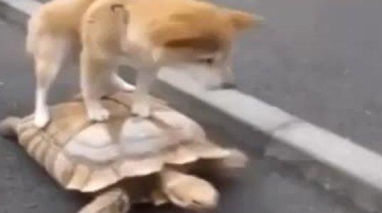 ვაი მეე! ძაღლი ნახეთ, როგორ გადაადგილდება?