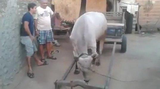 დაუჯერებელია,თუმცა ფაქტია...უჭკვიანესი ძროხა