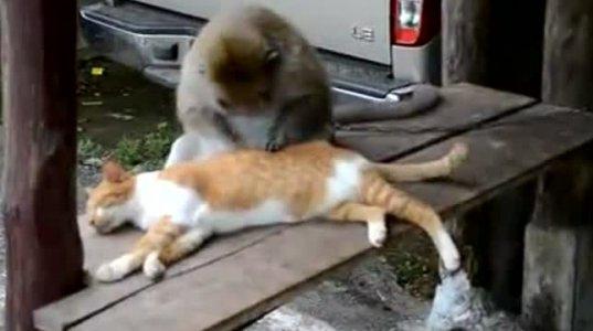 მაიმუნი  კატის ბეწვში რწყილებს ეძებს