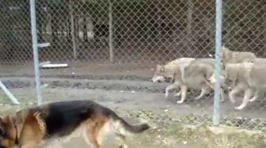 მგლების რეაქცია გერმანულ ნაგაზზე