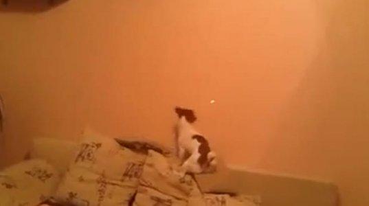 ძაღლი ლაზერს დასდევს დასაჭერად