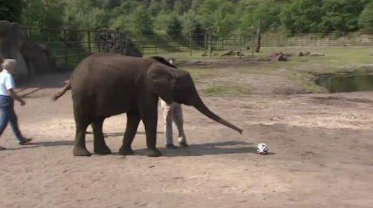 სპილომ გერმანიის ზოოპარკში მსოფლიო ჩემპიონატის შედეგი გამოიცნო
