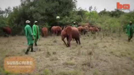 სპილოებსაც  უყვართ თურმე  ფეხბურთის თამაში