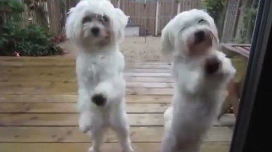 ძაღლების ასე შეხმატკბილებული ცეკვა თუ გინახავთ?