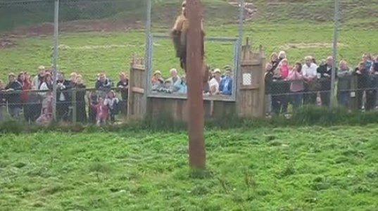 ნახეთ ლომი როგორ ადის ხეზე