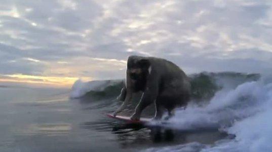 სერფერი სპილო თუ გინახავთ?