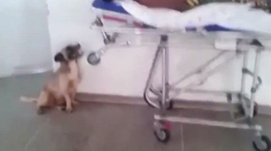 """ერთგული ძაღლი, რომელიც """"სასწრაფოს""""გაეკიდა და სავადმყოფოში მივიდა პატრონს"""