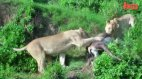 ლომის საოცარი ნახტომი და შედეგად დაჭერილი ჯიხვი